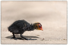 Cute Coot chick (Linz27) Tags: chick coot universityofyork copyrightlindseybowes nikond750 nikon300mmf4epfedvr