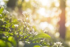 beech forest sunrise (w-venne) Tags: forest sunrise buchenwald spring pflanze blte bume sonnenaufgang frhling teutoburgerwald ramson alliumursinum brlauch frhblher