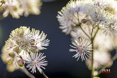 Macro-fotografie-106 (robdeheer) Tags: flowers holland macro nature colors fleurs garden colours nederland natuur tuin blume bloemen macrophotography kleuren flowerart flowerphotography macrofotografie