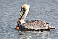 Brown Pelican (Jan Nagalski) Tags: winter nature water nationalpark florida wildlife pelican february brownpelican theeverglades southflorida largebird longbill jannagal jannagalski
