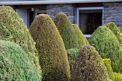 Conical Conifers (stuart01jones) Tags: wood trees plant tree green leaves wales garden topiary cone outdoor fir shape conical powys conifer carno