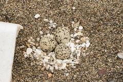 Beautiful decorated Snowy Plover nest (Corvus707) Tags: ocean california beach birds northerncalifornia lumix sand nest snowy birding conservation panasonic eggs marincounty pointreyes norcal plover biologist shorebirds pointreyesnationalseashore 2016 pore snowyplover birdphotography birdnerd
