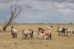 How many foals? (Fardo.D) Tags: sky horses dutch clouds savannah paarden foals oostvaardersplassen konik konikpaarden velens