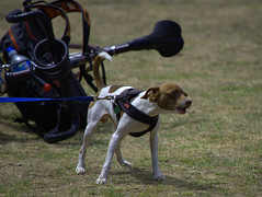 The Bicycle Guard (swong95765) Tags: dog bicycle small bark aggressive loud petite protect defend