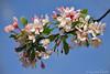 lenteweelde (Don Pedro de Carrion de los Condes !) Tags: detail spring boom lente bloesem lekker donpedro knoppen voorjaar fruhling kleurtjes d700 bloesen lenteboden