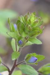 Budding Veronica (Jee whiz!) Tags: veronica bud purpleflower speedwell