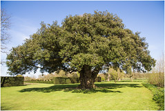 Westbury Court Garden, Holm Oak (Quercus Ilex) (Sparedini) Tags: holmoak quercusilex westburycourtgardennt