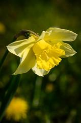 Daffodil (mellting) Tags: plant flower nikon flickr sweden daffodil sverige eskilstuna platser narcissus psklilja 500px sigma70300456 bloggad nikond7000 mellting instagram matsellting promenadetuna