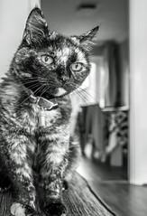 Smudge (June 2016) (BW) (8) Fuji X70 Compact) (1 of 1) (markdbaynham) Tags: bw pet cute animal cat prime feline fuji 28mm smudge fujinon f28 compact x70 apsc fujix 16mp transx