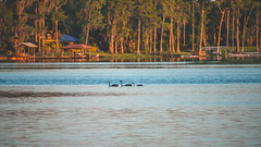 Lock Ness Cranes? (crashmattb) Tags: sunset lake florida wildlife may odessa sandhillcranes lakealice lightroom 2016 canon70d canonefs55250f456isstm