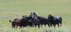 I got your back (prairiegirrl) Tags: wildlife wyoming wildhorses mustangs keepwildhorseswild greenmountainhma