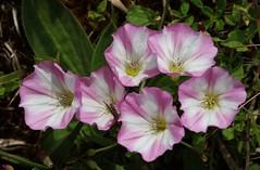 Wild Flower (Hugo von Schreck) Tags: flower macro blume makro wildflower blten wildblume tamron28300mmf3563divcpzda010 canoneos5dsr hugovonschreck