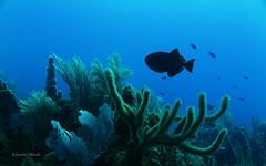 Black is beautiful (kyshokada) Tags: canon underwater honduras scuba diving powershot caribbean roatan reef animalplanet corals triggerfish blackdurgon