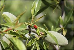 Almond & Visitor (Mabacam) Tags: tree nature bug insect walking outdoors countryside spain hiking country beetle almond andalucia trail moorish ladybird ladybug nut ladybeetle redbeetle 2016 sayalonga canillasdealbaida