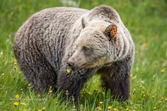 164 (murph le (Mostly away)) Tags: nature animal kananaskis wildlife alberta grizzly dandelions
