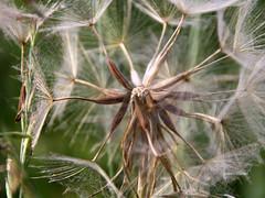 09-IMG_2436 (hemingwayfoto) Tags: blume bocksbart natur samenstand schirmchen tragopogonpratensis wiesenbocksbart wiesenblume