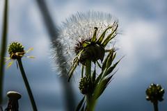 Sin viento (cmarga28) Tags: flores flowers plantas molinillo sunset grupo naturaleza atardecer contraluz sombras azu blue fotography foto campo country macro cerca nikon belleza delicadeza digital raw d750