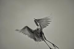 Heron Nation 06.23.2016.04 (nwalthall) Tags: blackandwhite egrets