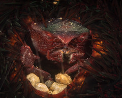 Sea urchin crab (Echinoecus pentagonus) (DavidR.808) Tags: echinoecuspentagonus sea urchin crab echinoecus pentagonus pilumnidae hawaii oahu pacific ocean