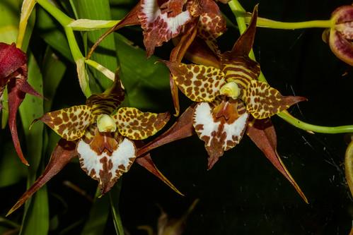 Odontoglossum cordatum (Orchidee)