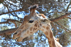 I've seen things  you people wouldn't believe (dfromonteil) Tags: girafe animal wilderness zoo look regard tree blue bleu nature mammal
