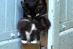 Transport (louise peters) Tags: france kitten kat little farm burgundy transport shed mother frankrijk poes carry bek boerderij schuur vervoer poesje katje creantay boutgondi