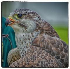 Messy Eater (Andy J Newman) Tags: england bird blood unitedkingdom hawk beak feather westonbirt gb prey hdr birdofprey guts falconry hdrefex