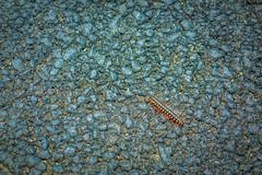 A centipede.