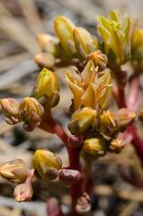 Canyon dudleya (CharlesCRussell) Tags: caplescreek crassulaceae dudleya wildflowers endemic native