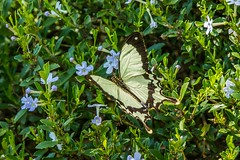 PGC_8512-20151013 (C&P_Pics) Tags: butterfly southafrica lodge za scenes limpopo pgc insectsandspiders tzaneen southafrica2015 bramasolelodge mtsheiba