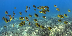 Fishfull thinking (bodiver) Tags: blue hawaii ambientlight wideangle snorkeling freediving schools reef kona fins kailua butterflyfish