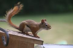 Some Red Squirrel at the Birdfeeders (Saline, Michigan) (cseeman) Tags: redsquirrel feeder birdfeeder perch squirrel saline michigan redsquirrel07232016 hungry squirrelfeeder