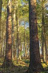 Jakey Hollow Natural Area (Revisit) (15) (Nicholas_T) Tags: trees nature forest spring hiking pennsylvania bark creativecommons ravine trunks coniferous whitepines hemlocks oldgrowthforest understory pinusstrobus columbiacounty tsugacanadensis easternhemlocks weiserstateforest easternwhitepines relictforest jakeyhollownaturalarea