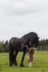 Daen & Pauli (HendrikSchulz) Tags: horses horse animal caballo april pferde pferd weh 2015 animalphotography tierfotografie canonef70200f4lusm pferdefotografie horsephotography canoneos600d friesenstallweh hendrikschulz hendriktschulz mellexreitse