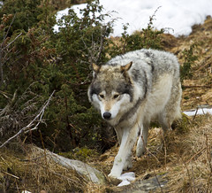 "A Wolf on the move (Vidar ""the Viking"" Ringstad, Norway) Tags: snow cold tree nature grass norway proud canon fur eos norge spring bush furry wolf walk wildlife norwegen move 7d wildanimal langedrag natureshot naturepic wildnorway"