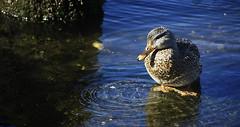 PACIFIC NORTHWEST 10 (Detective Steve) Tags: seattle bird nature duck ripple pacificnorthwest pugetsound natureycrap
