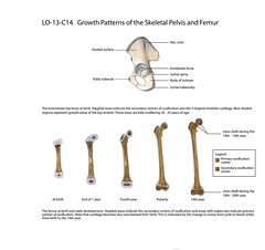 For McMaster Health Sciences (so.olivia) Tags: birth growth hip femur coxa cartilage embryology ossification