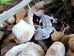 Tenerife gecko or Tenerife wall gecko (Tarentola delalandii ) (Linda DV) Tags: lindadevolder tenerife islascanarias españa spain nature gekko tarentoladelalandii tenerifegecko reptilia