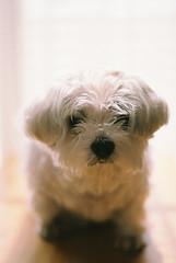 Paul (shp2100) Tags: dog film nikon f80 犬 ニコン フイルム