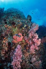 Batu Gosoh canyons (Luko GR) Tags: fish coral indonesia colorful underwater bluewater diving canyon northsulawesi reef gorgonian bangka anthias basslets seasurface batugosoh