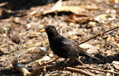 Common Blackbird (praja38) Tags: life uk wild england male london nature zoo wings beak feathers blackbird thrush capricorn eurasianblackbird theregentspark commonblackbird