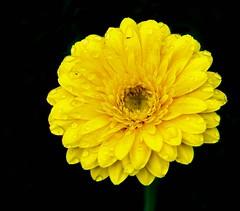 Yellow daisy (yazi78) Tags: flower yellow nikon daisy tamron1750 d3000
