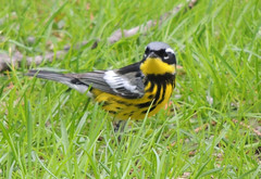Magnolia Warbler (Two Cats Productions) Tags: