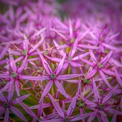 Pink Allium