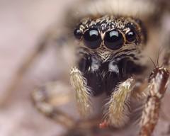 Zebra Jumping Spider Eyes (Doundounba) Tags: macro spider eyes montral pentax extreme qubec zebra jumpingspider araigne k3 villeray salticusscenicus salticidae poormansmacro salticide vivitarmc28mmf28 pentaxm200mmf4 coupledreverselens