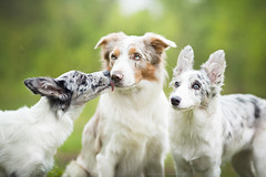 Happy Family :D (Alicja Zmysowska) Tags: blue dog dogs puppy spring puppies collie kiss border lilac tricolor slate merle