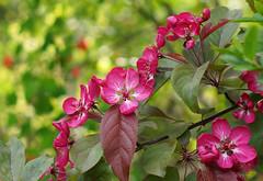 Bltenzauber (ingrid eulenfan) Tags: nature natur pflanze blte baum bltenzauber