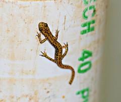 Cave Salamander (U.S. Fish and Wildlife Service - Midwest Region) Tags: nature spring wildlife may amphibian salamander mo missouri visitor salamanders neosho hatchery 2016 nfh cavesalamander nationalfishhatchery cavesalamanders