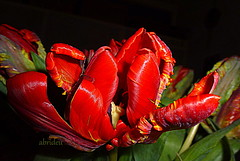 Parrot Tulip (abrideu) Tags: red plant macro blackbackground bright outdoor ngc depthoffield npc tulip onblack parrottulip abrideu panasonicdmctz20