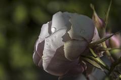 Entre la luz y las sombras (Rosa Tom) Tags: flores luz explore gotas rosas sombras 243 greatphotographers